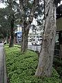 HK Causeway Road 千層樹 tree trunks.JPG