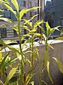 HK Mid-levels High Street clubhouse green leaves plant February 2019 SSG 56.jpg