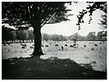 Hagley Park Sheep, Christchurch, New Zealand (16495992701).jpg