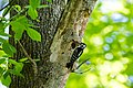 Hairy woodpecker (26580842841).jpg