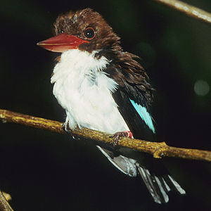 Chocolate-backed kingfisher - Image: Halcyon badia P Lo S