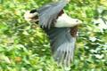 Haliaeetus vocifer - Carlos Vermeersch Santana.png