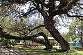 Hallettsville-tx2016-71(hanging-tree).jpg