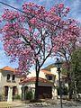 Handroanthus impetiginosus (lapacho rosado) florecido.jpg