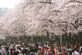 Hangang Yeouido Spring Flower Festival (4402810361).jpg