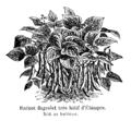 Haricot flageolet très hâtif d'Étampes Vilmorin-Andrieux 1904.png