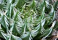 Haworthia gigas - panoramio.jpg
