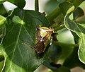 Hawthorn Shield Bug. Acanthosoma haemorrhoidale (37102535693).jpg