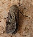 Heart and Dart. Agrotis exclamationis - Flickr - gailhampshire (3).jpg
