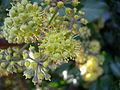 Hedera helix flower.jpg