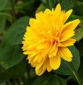 Helianthus x multiflorus (Soleil d'Or). Locatie De Kruidhof.JPG