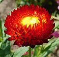 Helichrysum bracteatum 1.JPG