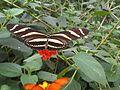 Heliconius charithonia 7.jpg
