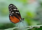 Heliconius hecale qtl1.jpg