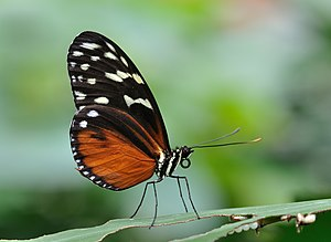 Comparison of butterflies and moths - A tiger longwing butterfly (Heliconius hecale) - note the clubbed antennae and slender body