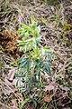Helleborus foetidus in Aveyron (7).jpg