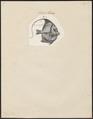 Heniochus spec. - 1700-1880 - Print - Iconographia Zoologica - Special Collections University of Amsterdam - UBA01 IZ13100197.tif