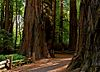 The Redwood Grove Trail (old-growth loop) in Henry Cowell Redwoods State Park