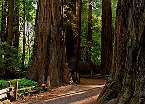 Henry Cowell Redwoods State Park - The Redwood Grove Trail (old-growth loop) in Henry Cowell Redwoods State Park