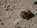 Hermit Crab in Pigeon Island.jpg