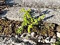 Herniaria glabra sl8.jpg