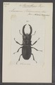 Hexarthrius - Print - Iconographia Zoologica - Special Collections University of Amsterdam - UBAINV0274 018 13 0036.tif