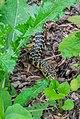 Hierophis viridiflavus in Aveyron 02.jpg