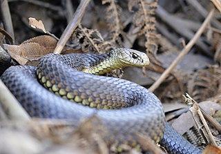 Highland copperhead Highly venomous snake native to southeastern Australia