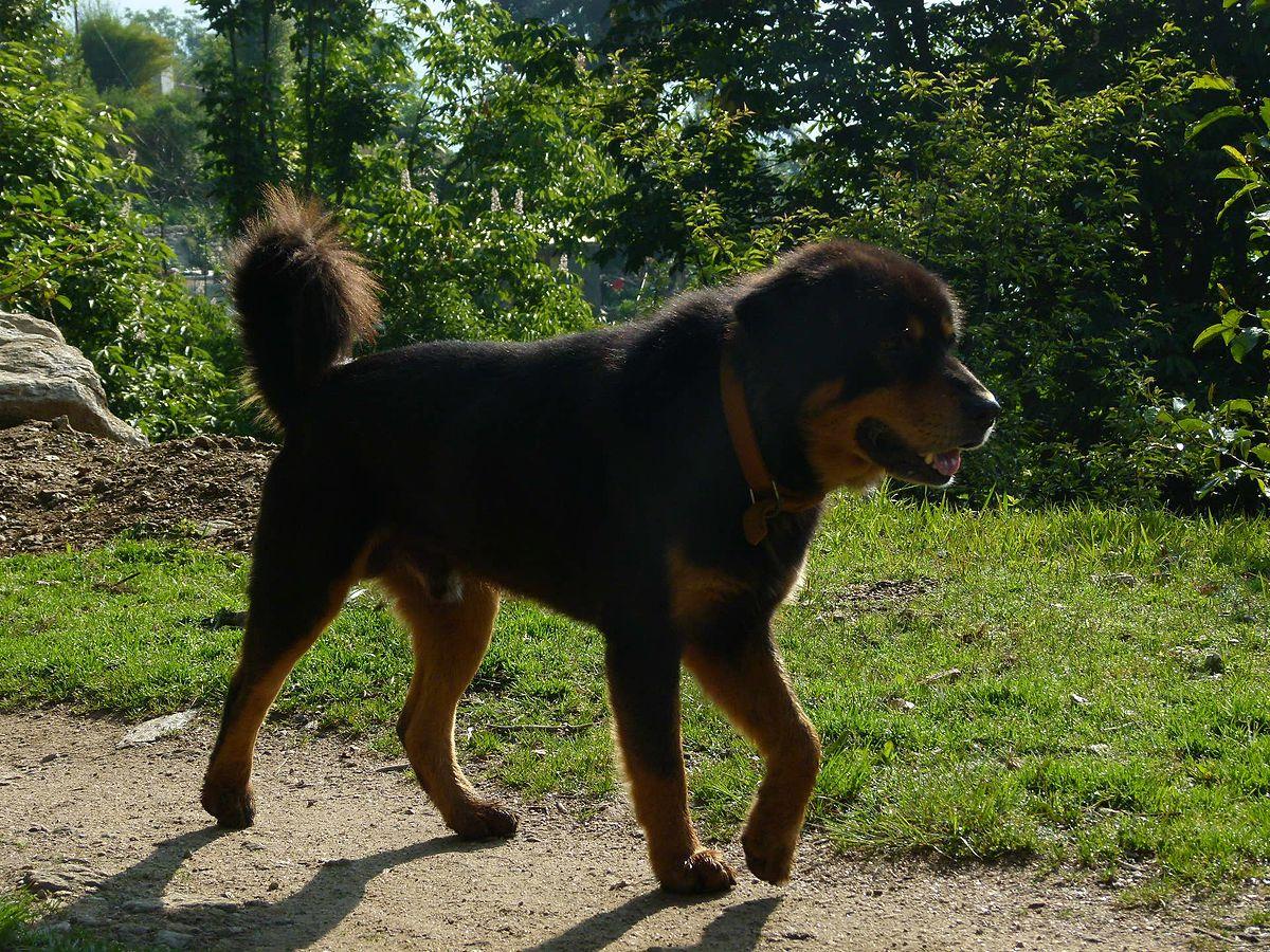 Himalayan Dog Breed