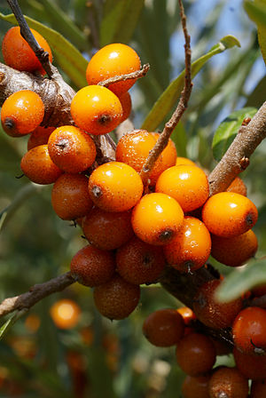 Sea Buckthorn Berry Skin Benefits