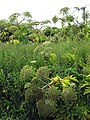 Hogweed jungle - geograph.org.uk - 885598.jpg