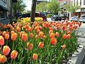 Holland MI Tulips 02.jpg