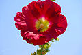 Hollyhock and bee.jpg