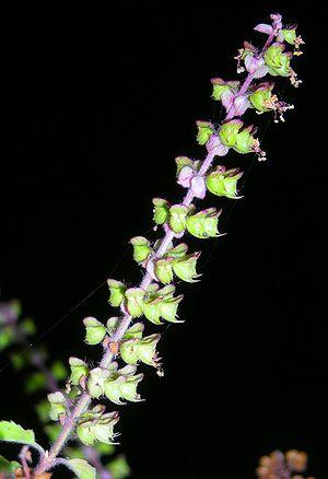 Flower of the Holy Basil