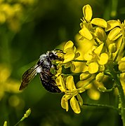 Holzbiene (Xylocopa violacea) Raps5233395-PSD.jpg