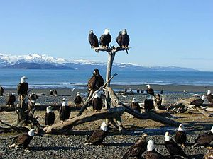 Jean Keene - Eagles near Keene's home.