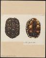 Homopus signatus - schild - 1700-1880 - Print - Iconographia Zoologica - Special Collections University of Amsterdam - UBA01 IZ11600087.tif
