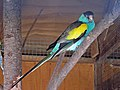 Hooded Parrot male SMTC.jpg
