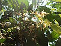 Hopea ponga flowers at Keezhpally (7).jpg