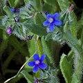 Hormuzakia-aggregata-flowers-ZE-01.jpg
