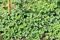Horngurke - Kiwano - Cucumis metuliferus im Garten, kletternd 09 ies.jpg