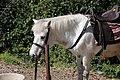 Horse around Chandragiri Hills 08.jpg