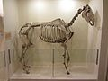 Horse skeleton -Booth Museum, Brighton and Hove, East Sussex, England-20Oct2011.jpg