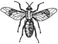 Horsefly (PSF).png