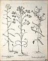 Hortus Eystettensis, 1640 (BHL 45339 255) - Classis Aestiva 103.jpg