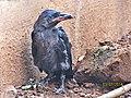House-crow fledgling, 2014.jpg