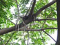 House Crow Corvus splendens by Raju Kasambe DSCN0468 (7) 17.jpg