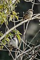 House sparrow (Passer domesticus) 08.jpg