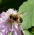 Hoverfly - Flickr - gailhampshire (17).jpg