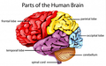 Human+Brain.png
